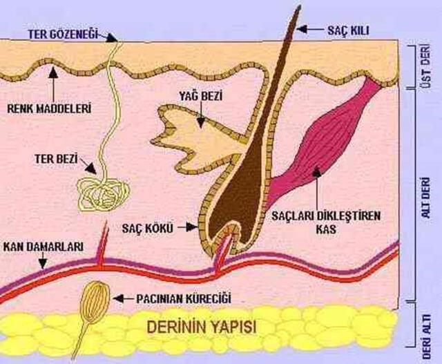cildin yapısı